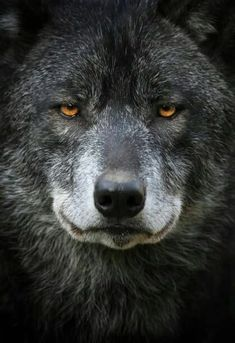 Wow now that's a very profound face! Such knowing eyes and so beautiful! Love a Wolf. You look mad though Wolf Images, Wolf Photos, Wolf Pictures, Wolf Love, Wolf Spirit, My Spirit Animal, Beautiful Creatures, Animals Beautiful, Wolf Husky