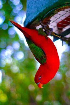 Australian Male King Parrot, the females are green.          via ken gilday