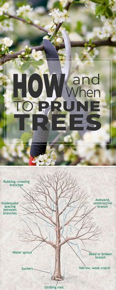 How and When To Prune Trees! • After reading this post, you will know how to prune trees correctly!