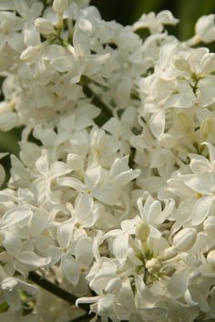Flieder - piccoplant