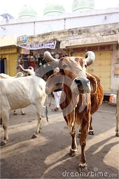 Photo about A portrait of a beautiful holy cow with huge curling horns in the streets of Rajasthan, India. Image of horns, pointy, huddle - 71080774 India Culture, Rajasthan India, Curling, Cows, Stock Photos, Portrait, Animals, Image, Beautiful