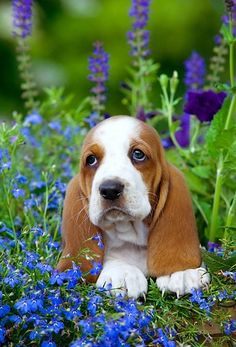 Basset Hounds are considered to be very gentle and loving pets. As the other dogs, they love people and can become really good friends for them. But there are also some things about Basset Hounds that can probably surprise you! Basset Puppies, Hound Puppies, Basset Hound Puppy, Cute Dogs And Puppies, I Love Dogs, Beagles, Doggies, Poodle Puppies, Adorable Puppies
