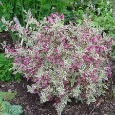 Weigela florida 'My Monet' | Gasper Landscape Design ... - saw in Oregon, glad I know the name now!