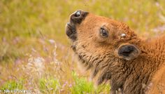 Baby Bison trying to get the bug (buffalo)