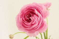 Pink Ranunculus photo Dreamy pastel photograph by PetalsandJasmine