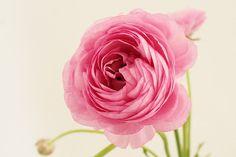Pink Ranunculus photo Dreamy pastel photograph by PetalsandJasmine