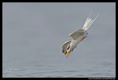 Beauty of The Nature - River Tern Multan, Pakistan