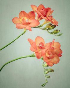 Large Freesia Flower Photography Print, Orange, Green, 24x30 or 20x24 Print by Allison Trentelman | rockytopprintshop.etsy.com