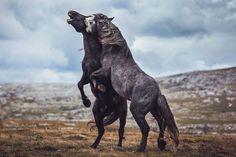 Frumusețea cailor sălbatici în 20 de imagini deosebite