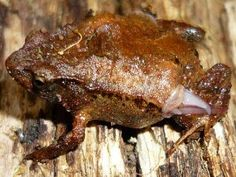 The Hip Pocket frog. This is called a Male Marsupial frog because like a kangaroo it carries its young in pouches. It has two openings, one on each hip, where tadpoles develop. First the female lays eggs in damp sand, then they are guarded by the male, and finally they hatch into finless white tadpoles, which wriggle their way into the pouches. They emerge 7 to 10 weeks later as froglets. Hip-pocket frogs are terrestrial and live among leaf litter in the forest. Found only in Australia.