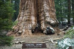 The President, Third-Largest Giant Sequoia Tree In The World,  California