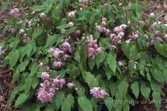 Epimedium x youngianum 'Roseum'/ elfenbloem/20cm/ bloei 4-5/ bladverliezend