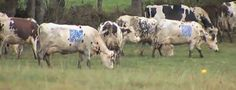 QR codes on cows: http://youtu.be/3QgFAWFFZqA    Leider wohl ein Fake, aber nette Idee.    http://www.qrdresscode.com/article-les-vaches-a-codes-c-est-un-fake-89532875.html (French)