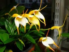 Masdevallia Aquarius 'Dawning of the Age (urosalpinx x davisii) Color:Orange, Yellow Bloom Season:Various Light:Low-Medium Temperature: Cool-Intermediate Miniature Reported good growth/flowers in 68-80 deg viv