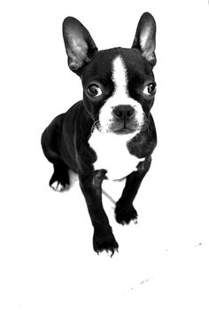 Black and White Picture of a Female Boston Terrier named Ink from Montpellier, France, Europe