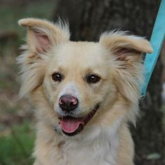 06/15/14~~Rain Golden Retriever  Border Collie Mix • Adult • Female • Large Helotes Humane Society Helotes, TX