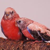 precious pink parakeets, just like my little Lilly.