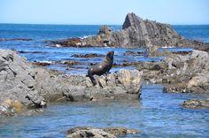 A seasonal seal colony along the South Coast ~ near Wellington, New Zealand