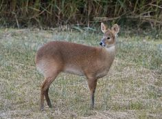 Chinese Water Deer Dunstable STW by John  Darcy on 500px