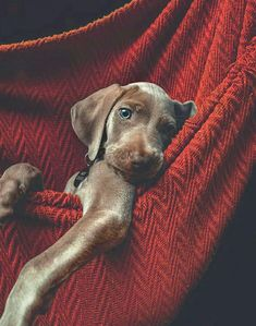 What a cute pup Puppies And Kitties, Cute Puppies, Cute Dogs, Funny Dogs, Doggies, Beautiful Creatures, Animals Beautiful, Cute Animals, Weimaraner Puppies