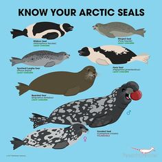 'Know Your Arctic Seals' by PepomintNarwhal Arctic Animals, Animals And Pets, Baby Animals, Cute Animals, Animal Facts, Marine Biology, Animals Of The World, Fauna, Marine Life