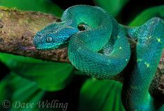489004001 a captive african bush viper viper atheris lays coiled on a tree limb sensing the environment with its tongue - species is native to equatorial africa