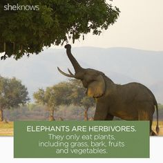 22 Elephant facts that prove they deserve better: Elephants catch a break Elephant Brain, Elephant Eating, Elephant Facts, Elephant Images, Happy Elephant, Wild Elephant, Asian Elephant, Elephant Love, Types Of Elephants