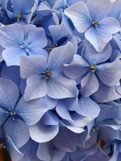 Hortensia Hydrangea, Hydrangea Flower, Blue Flowers, Beautiful Flowers, Vishuddha Chakra, Flower Pictures, Flower Power, Tulips, Planting Flowers