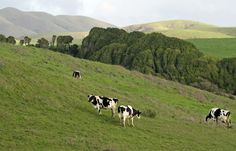 Cows graze on a rolling hillside at Robert Giacomini Dairy in Point Reyes Station.