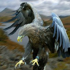Wow  eagle  /Photography by  Steve Wilson #WildGeography  Follow @wildlifeowners  by wildgeography