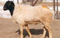 Marwari breed of sheep Sheep Breeds, Most Common, Creature Comforts, Long Legs, Farm Animals, Goats, Camel, India, Popular