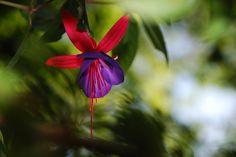 Fuchsia I  By KC, 2011 #nature #flowers #fuschias