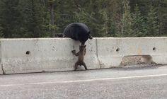 Mamma orsa salva il suo cucciolo finito sull'autostrada - http://www.ahboh.it/mamma-orso-salva-cucciolo/