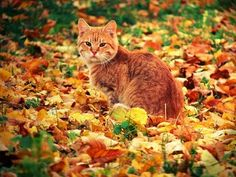 autumn-cat-vido_in_the_leaves.jpg (400×300)
