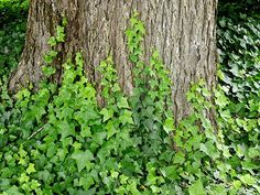 Live English Ivy English ivy, scientifically known as Hedera helix, is a woody perennial vine plant native to Europe, Scandinavia, and Russia. Ivy Plants, Jade Plants, Types Of Hydrangeas, Boston Ivy, Living English, Climbing Hydrangea, Ground Covering, Lawn Maintenance, Ground Cover Plants