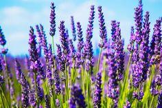 Přírodní lékárna: Levandule vrátí klid, jitrocel uleví při puchýři Lavender Fields, Lavender Flowers, Purple Flowers, Dried Flowers, Growing Lavender, Growing Flowers, Purple Perennials, Lavender Ice Cream, Lavender Tea