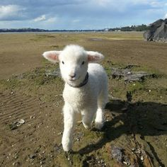 This baby lamb demands your love and affection Cuteness Alert: 22 Adorable Baby Animals - World's largest collection of cat memes and other animals Fluffy Animals, Animals And Pets, Bb Chat, Image Gag, Baby Lamb, Baby Goats, Tier Fotos, Cute Little Animals, Adorable Animals