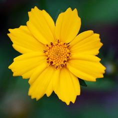 Lance-Leaved Coreopsis by NaturesFinestSeed on Etsy