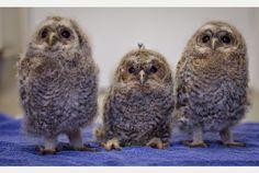 Baby Tawny Owls Tawny Owl, Blue Tit, Owls, Baby Blue, Birds, Animals, Animales, Animaux, Owl