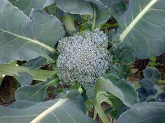 Growing Broccoli 101 - HOMEGROWN
