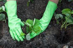 Рассаду клубники сажают весной. Важно, чтобы к этому времени почва успела прогреться примерно до 10°С