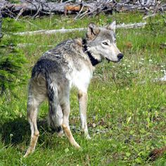 A wolf named OR-7 made history when he left Oregon for California, all on his own. Now, with a media following and a new mate, he's kind of a big deal.