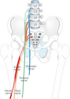 Lower Limb Nerves  