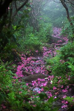 Mount Rogers–Virgina, USA  Virginia's Mount Rogers is over 5,000 feet high in the clouds, but somewhere along the many trails and paths, lucky hikers can stumble across this rhododendron littered path.
