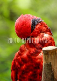 3 parrots , parrot photography, wild bird, digital slr, birds, bird photography, instant download by PHOTOGRAPHYCHANNEL on Etsy