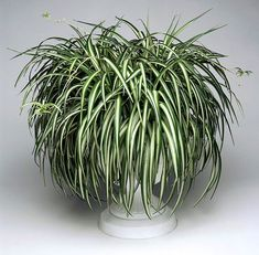 The Best Houseplants for Clean Air and Better Health Easy Plants To Grow, Cool Plants, Hanging Plants, Indoor Plants, Shamrock Plant, Types Of Houseplants, Yucca Plant, Chlorophytum, Chinese Money Plant