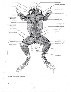 Afficher limage dorigine amphibians pinterest anatomy frogs frog muscle anatomy muscular system of the frog human anatomy diagram ccuart Images