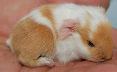 Look at this cute guinea pig.