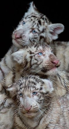 ~~ Three white tiger cubs are seen at the Serengeti wildlife park in Hodenhagen, central Germany. AFP PHOTO / JULIAN STRATEN via The Daily Beast ~~