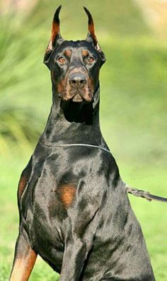 The Doberman Pinscher is among the most popular breed of dogs in the world. Known for its intelligence and loyalty, the Pinscher is both a police- favorite Beautiful Dogs, Animals Beautiful, Cute Animals, Big Dogs, Cute Dogs, Doberman Pinscher Dog, Doberman Puppies, Doberman Love, Oragami